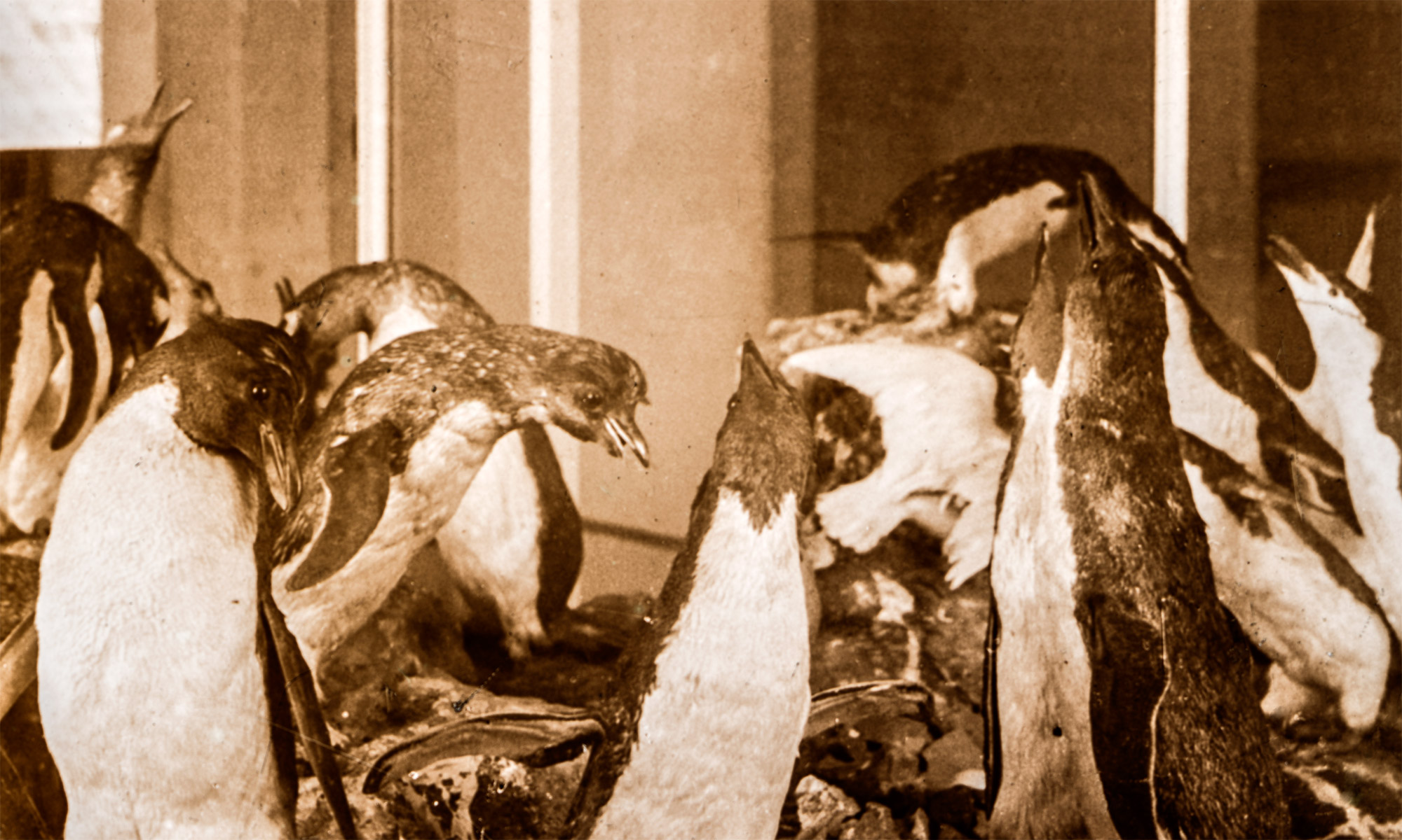 Taxidermy Penguins