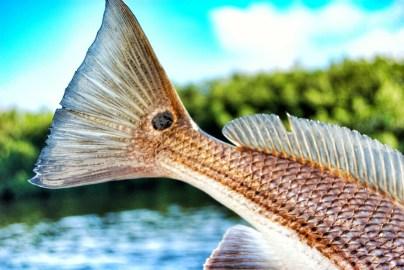 Stock backwater - Redfish