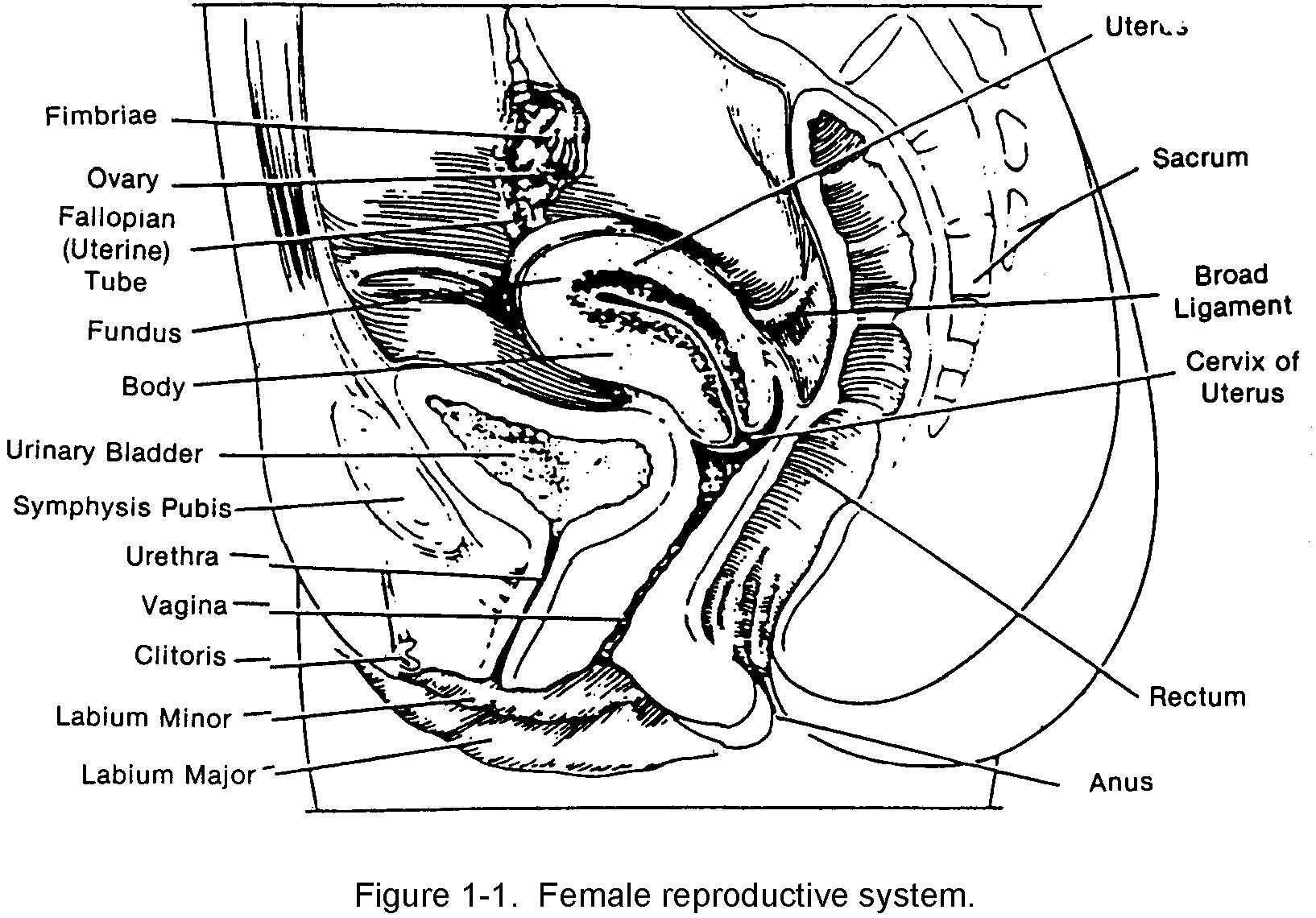 Female Reproductive System Diagram Side View Blank