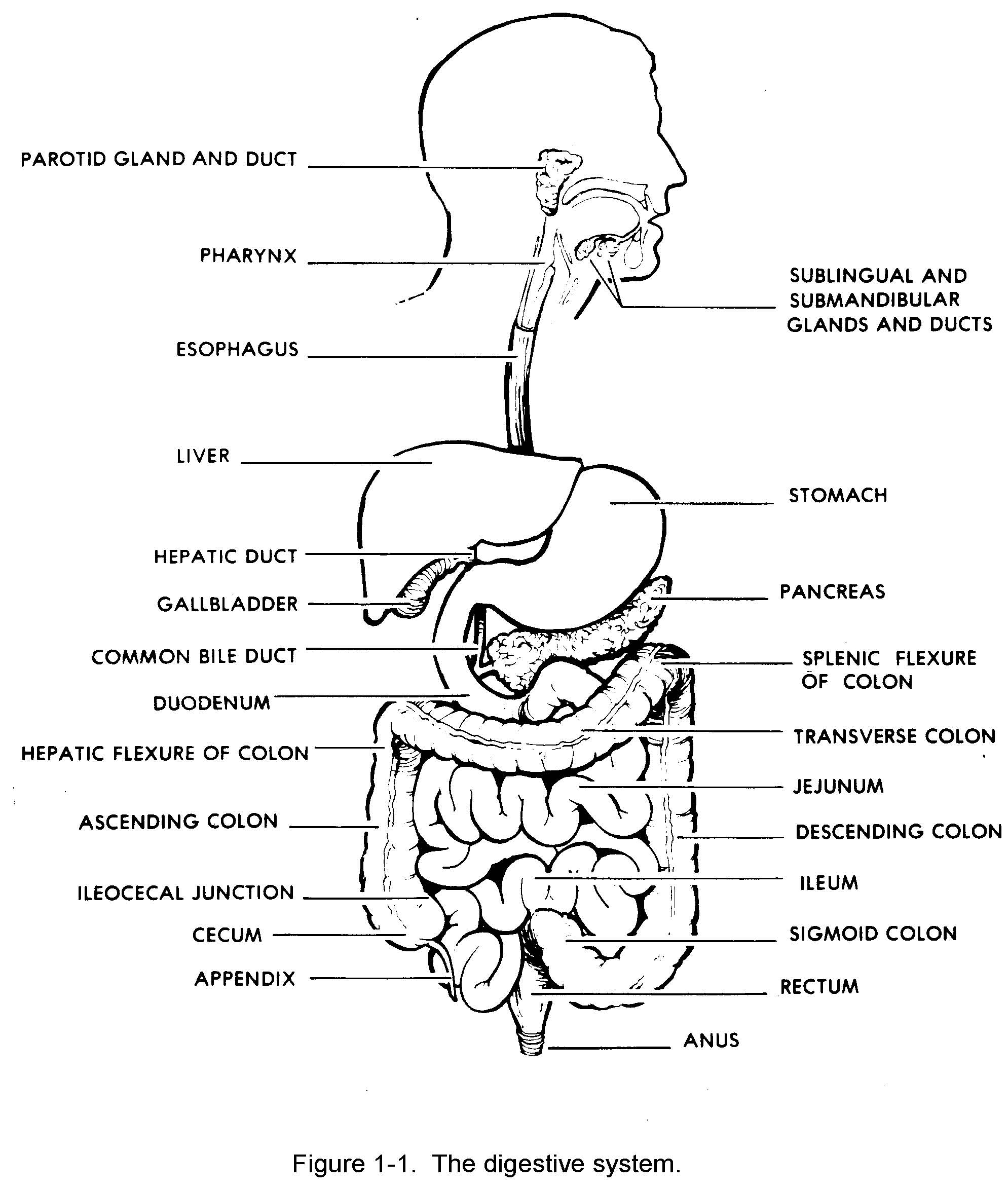 large intestine diagram blank 1997 ford expedition car radio wiring images 06 digestive system basic human anatomy
