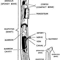 Kids Skeletal System Diagram Er Model In Dbms Worksheet Grass Fedjp