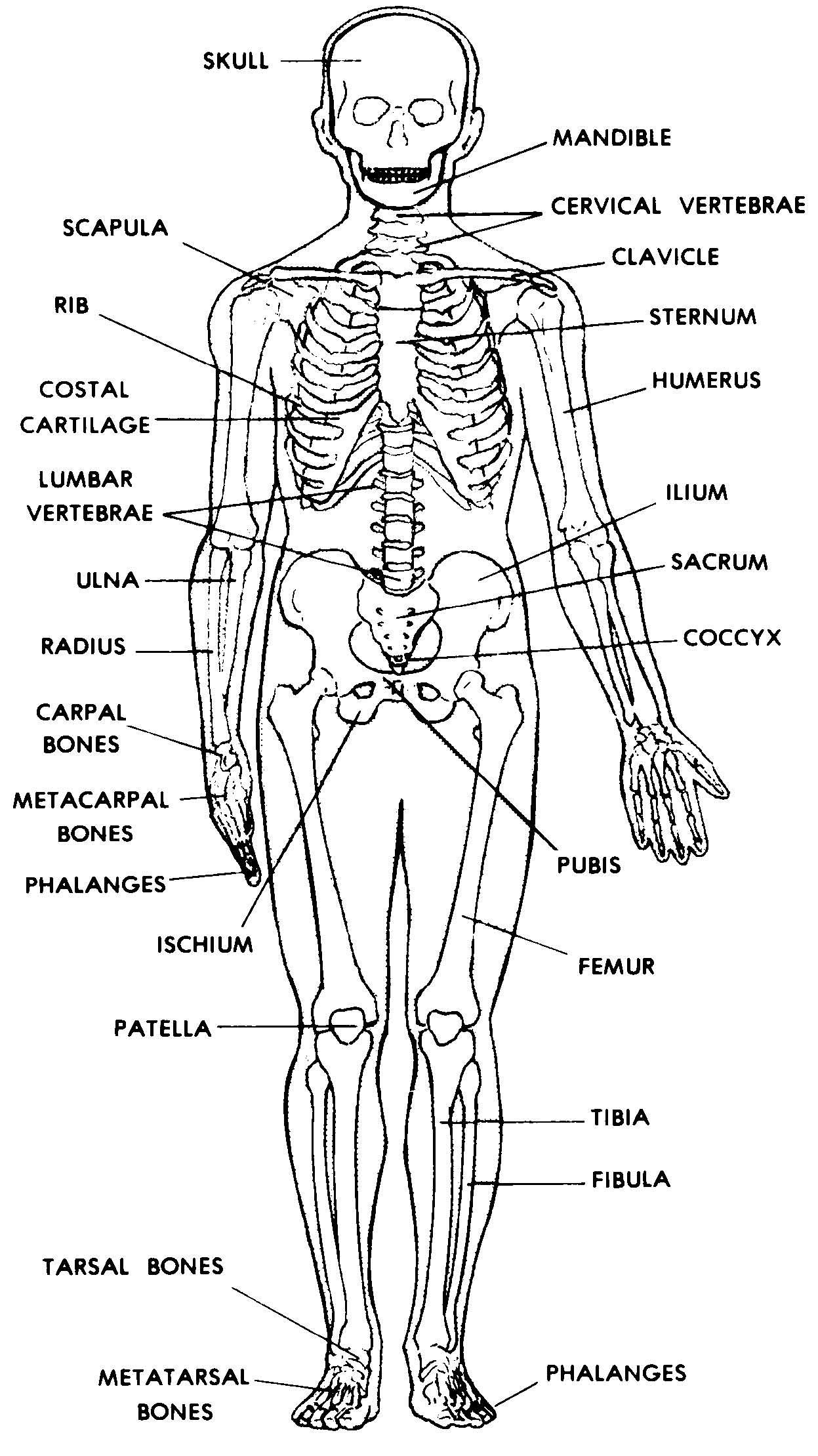 human skull diagram superior temperature gauge wiring images 04. skeletal system | basic anatomy