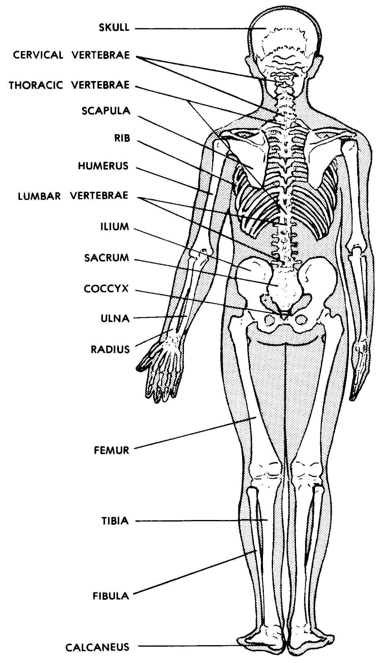 human skeleton diagram without labels front lewis dot for hbr images 04 skeletal system basic anatomy