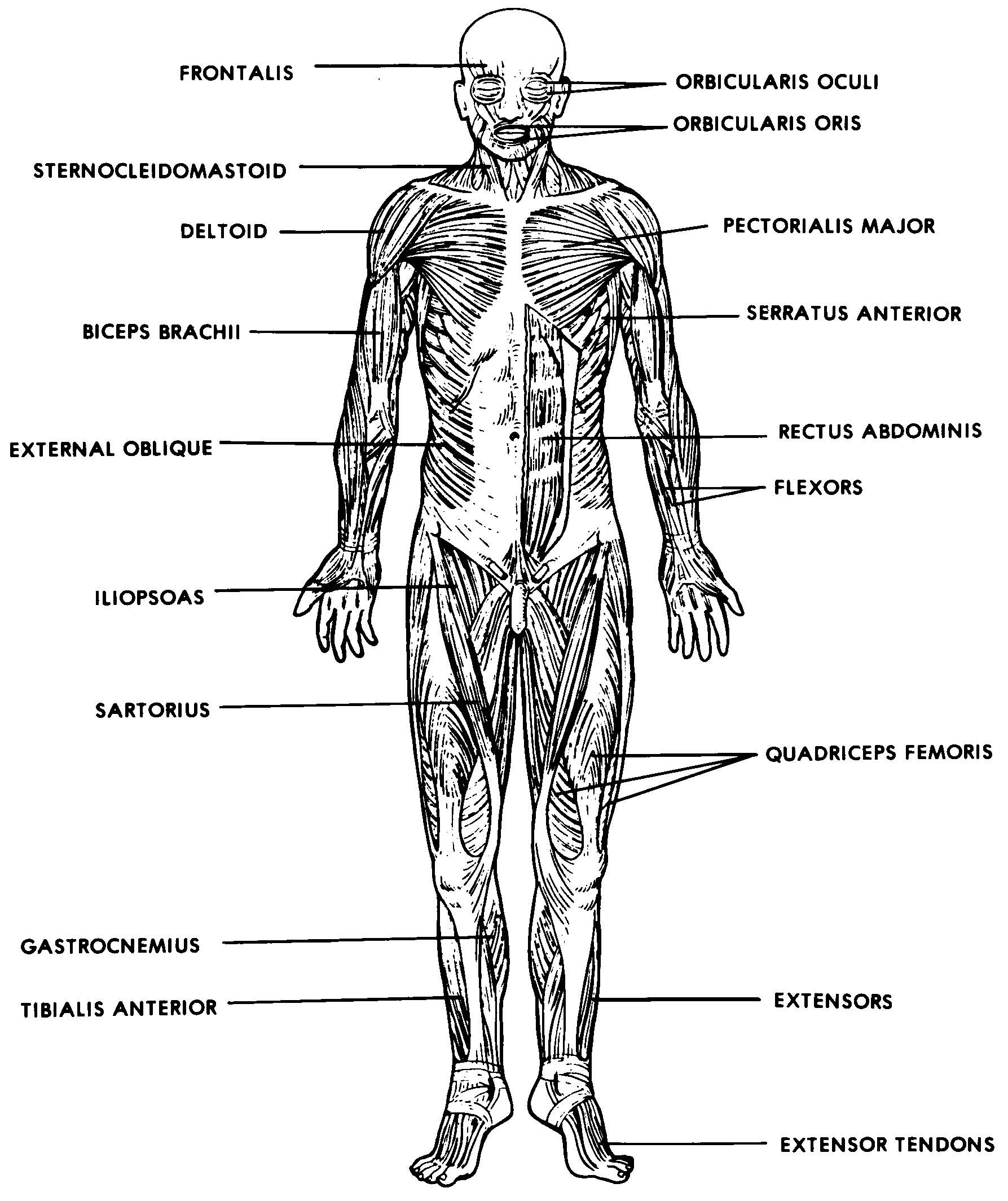 human muscles diagram labeled front and back ansul system relay images 05 muscular basic anatomy