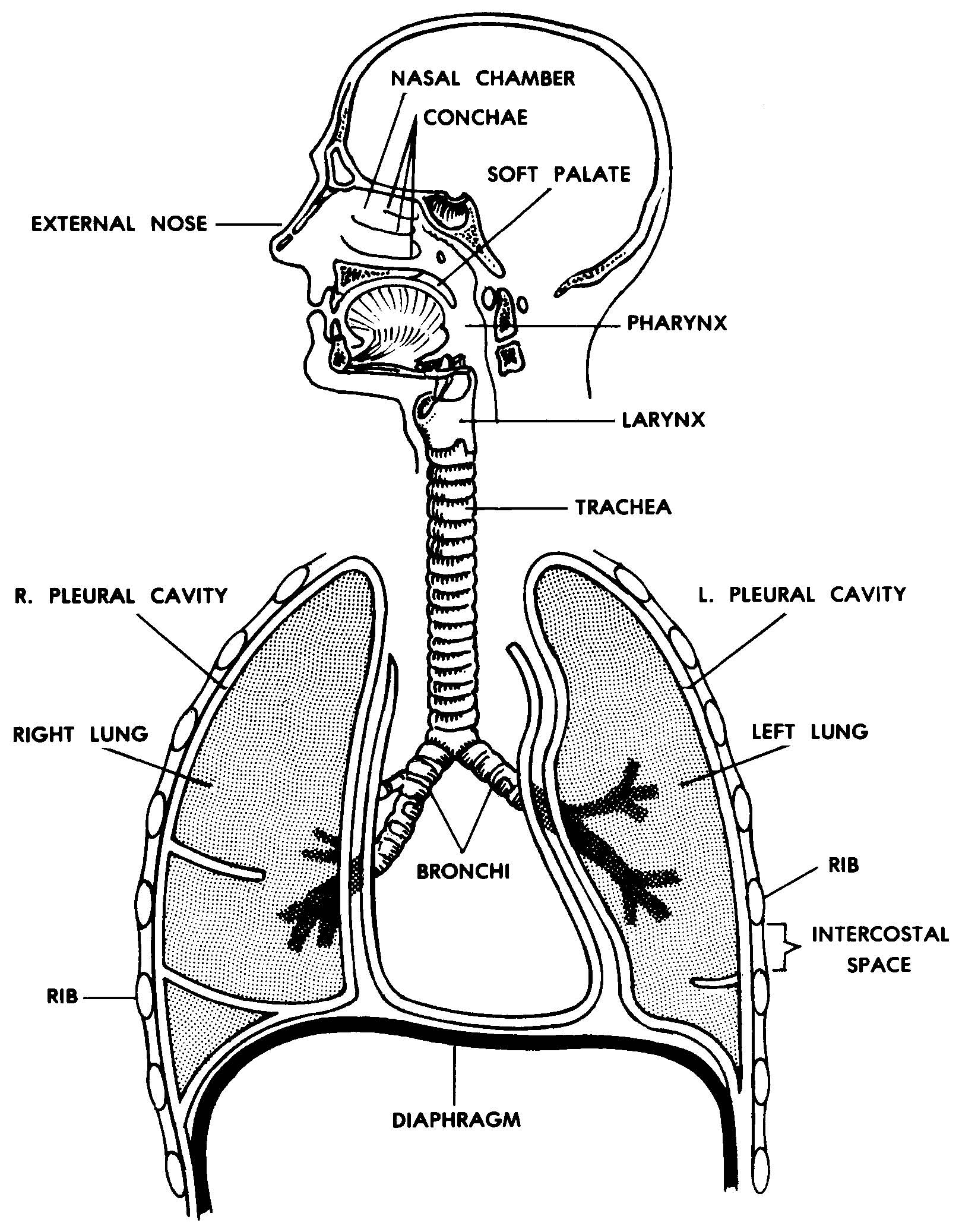Images 07 Respiratory System And Breathing