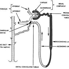 Kidney Nephron Structure Diagram Wiring For Electronic Distributor Images 08 Urogenital Systems Basic Human Anatomy