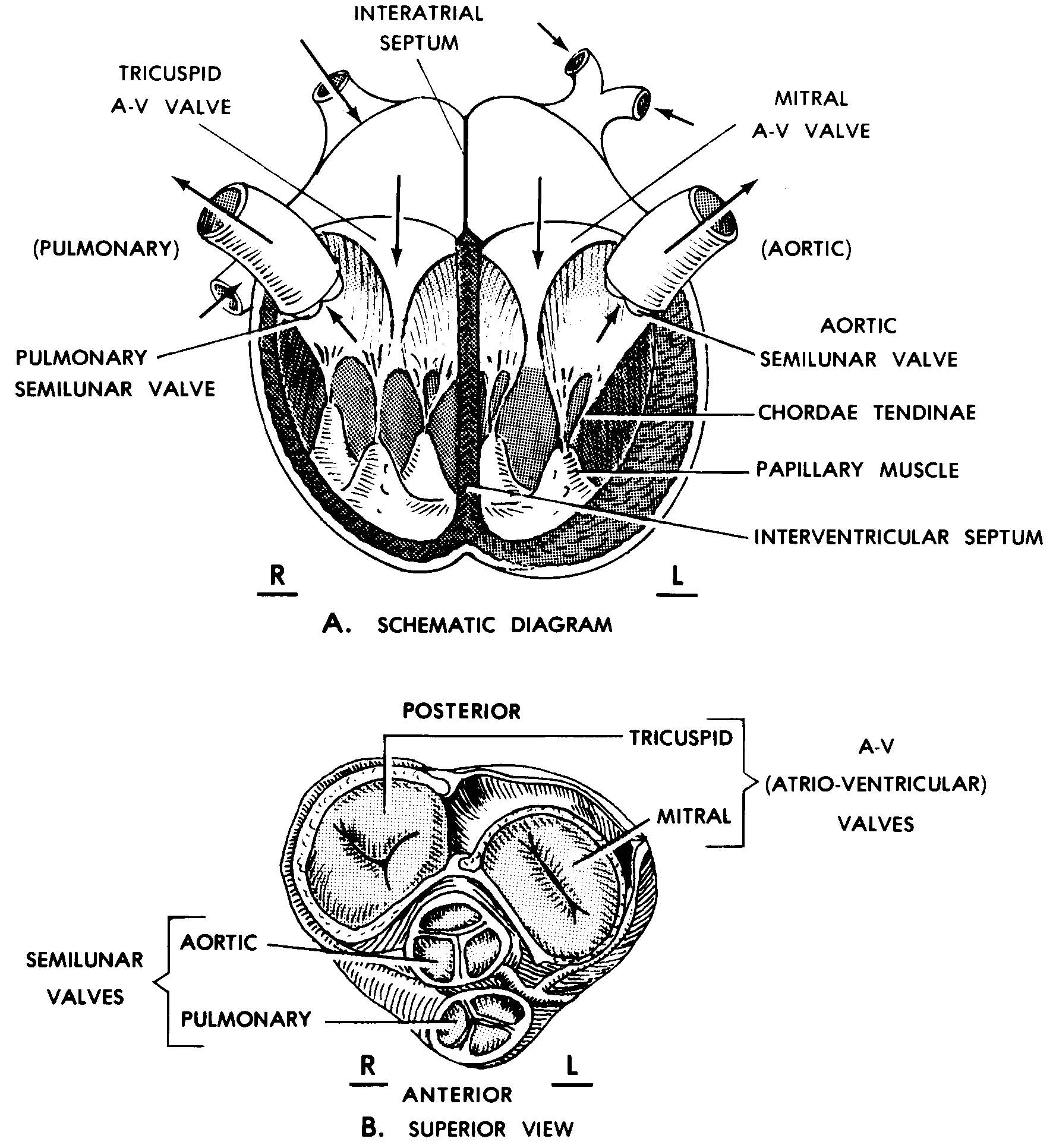 Images 09 Cardiovascular And Lymphatic Systems