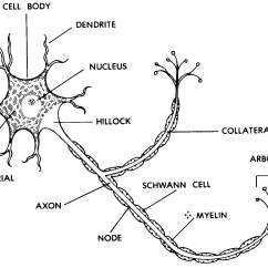 Multipolar Neuron Diagram Labeled Wiring For Windshield Wiper Motor Images 11 Nervous System Basic Human Anatomy