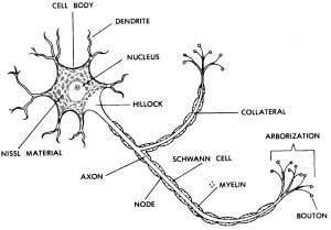 Images 11 Nervous System | Basic Human Anatomy