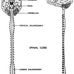 Central Nervous System Labeled Diagram 98 Honda Civic Fuse Panel Images 11 Basic Human Anatomy