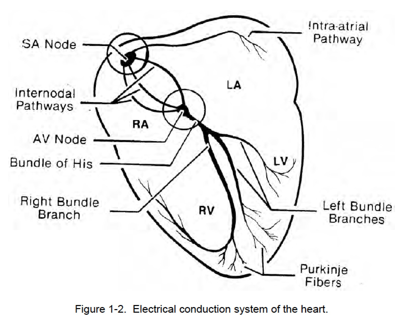 Figure 1-2. Electrical conduction system of the heart