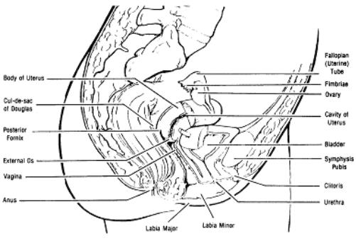 Figure_1_1_The female_reproductive_organs(sagittal section