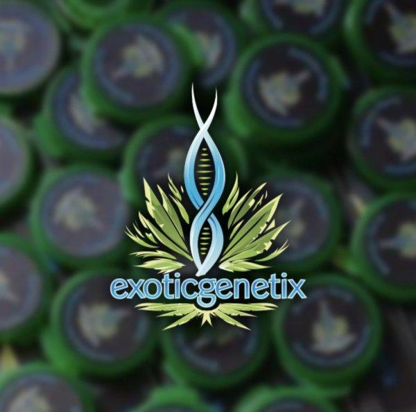 Exotic Genetix - Mr. Clean (Reg M/F)