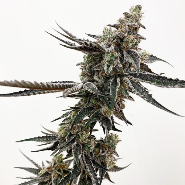 Exotic Genetix - Southern Sugar (Reg M/F)