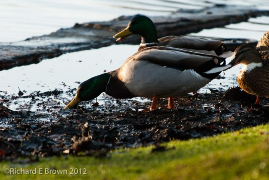 Mallard Ducks Feeding