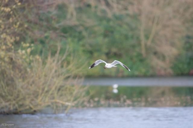 Black Headed Gulls-7
