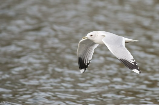 Black Headed Gulls-8
