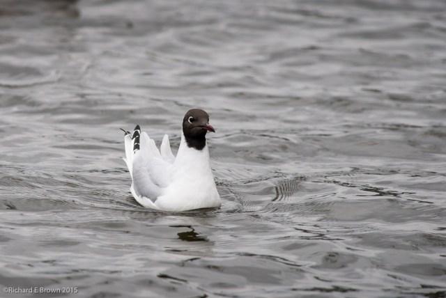Black Headed Gull - Summer