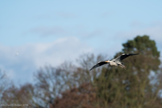 Heron in Flight February 2016