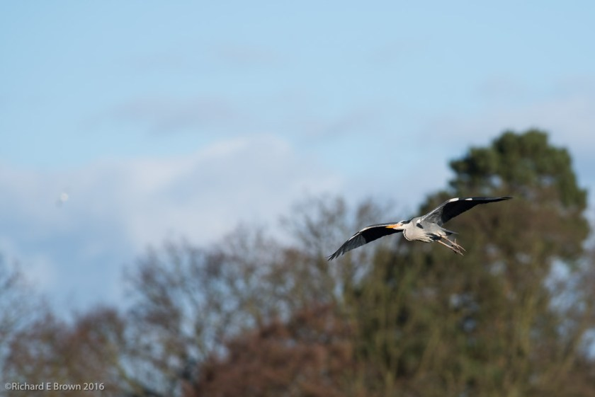 Heron in Flight February 2016