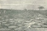 Trench with Water-Lilies (Victoria Regia) in Georgetown, Demerera, April 28, 1888, 466-7