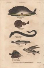 Pisces, Plate 1, London Encyclopaedia, Vol. 17, 1829