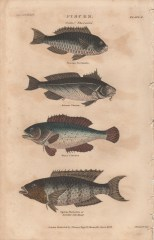 Pisces, Plate 2-1, London Encyclopaedia, Vol. 17, 1829