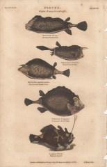 Pisces, Plate 4-1, London Encyclopaedia, Vol. 17, 1829