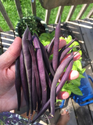 Purple beans are beautiful, though make for ugly pickled beans