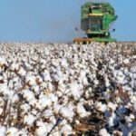 Survey shows cotton planting intentions up three percent