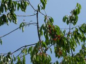 Cherries ripening at Crow's Castle