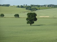 Lone Oak, near Orton on the Hill