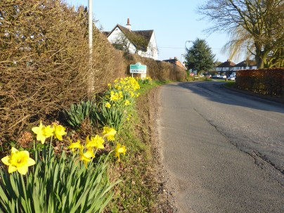 The daffodils of Edingale.