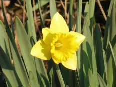 Daffs are one of my favourite flowers. To me, they symbolise the end of darkness.