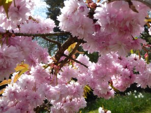 Cherry blossom at Canwell