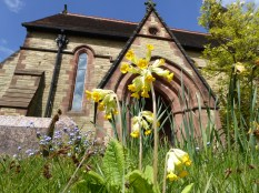 Cowslips in Hints churchyard