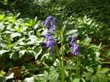English bluebells at Hopwas Hays Wood