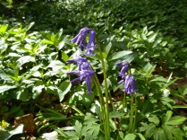 English bluebells at Hopwas Hays Wood