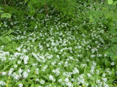 Wild garlic glade at Cromford
