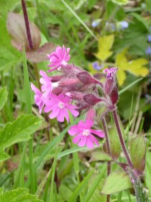 Red campion is having a very good year