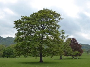 The Oaks at Ilam look superb at the moment