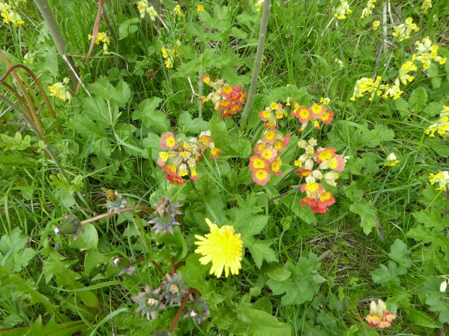 Good to see the odd clump of red cowslips still surviving near Calton