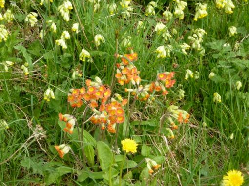 Unusual red cowslips near Calton in the Weaver Hills