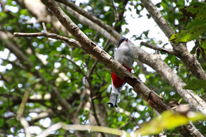 Tocororo - National bird of Cuba