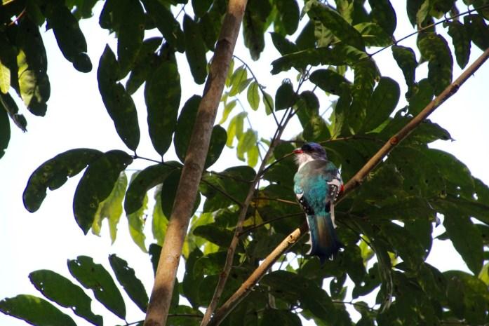 Tocororo - Cuban National bird