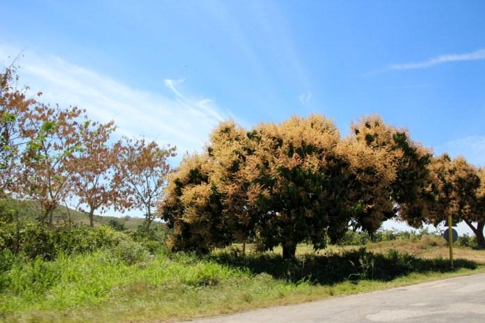 Mango tree blooming