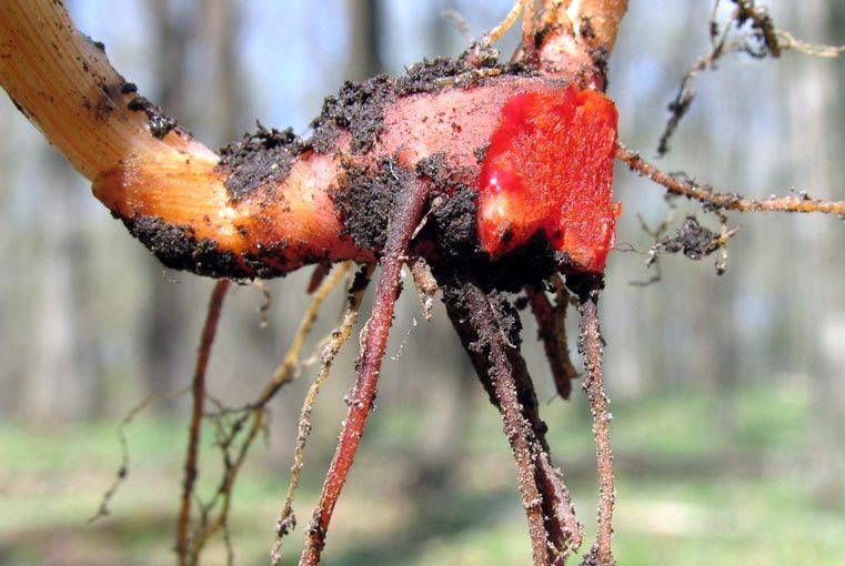 """Sanguis is Latin for """"blood."""" The plant gets this name due to the red resin it produces when the root is cut or bruised."""