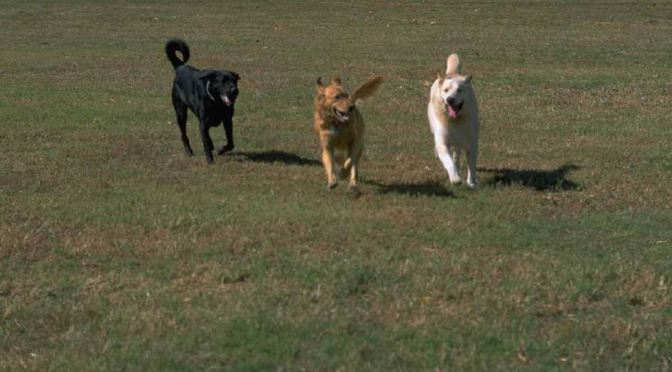 Three dogs running across a field