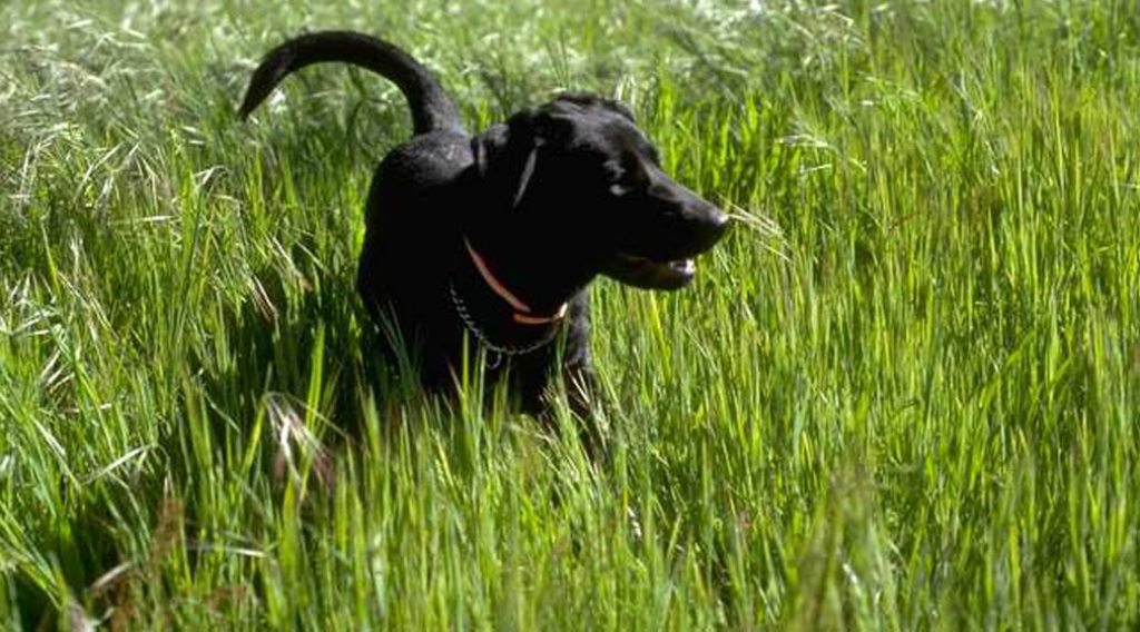 Black Labrador retriever in tall grass
