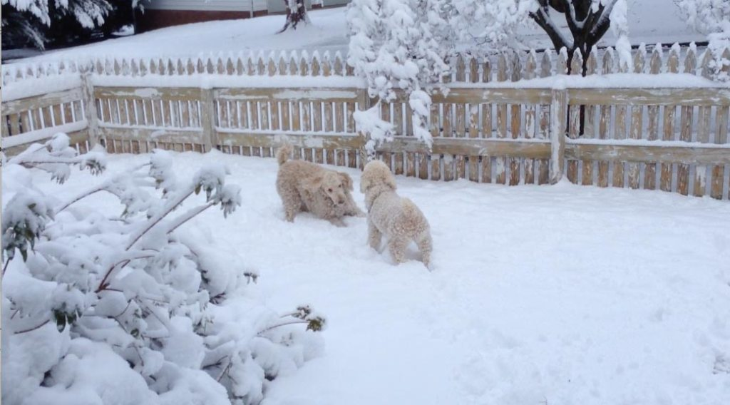 Poodles playing in the snow